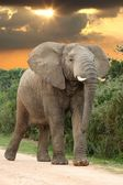 African Elephant at Sunset — Stock Photo
