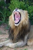 Lion with Mouth Open Showing Teeth — Stock Photo