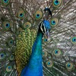 Peacock Display - Stock fotografie