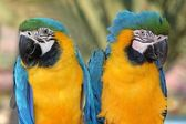 Maccaw Parrot Pair — Stock Photo
