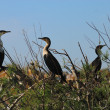Cormorans - Stock Photo