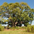 African tree named cheesemonger — Stock fotografie
