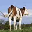 Dairy Cow in Pasture — Stock Photo