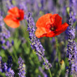 Lavender and poppy — Stock Photo