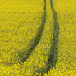 Stock Photo: Oilseed field