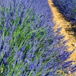 Lavander in the landscape — Stock Photo