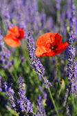 Lavendel och vallmo — Stockfoto