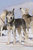Three dogs in the snow — Stok fotoğraf