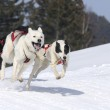 Sportive dogs in the mountain — Stock Photo