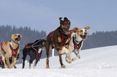 Sportive dogs in the mountain — Stockfoto