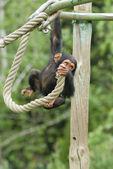 年轻黑猩猩 — 图库照片