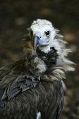 Eurasian black vulture — Stock Photo