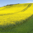 Culture of canola — Stock Photo