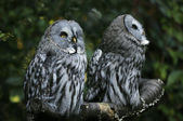 Two owls — Stock Photo