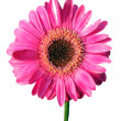 Isolated Pink Gerbera — Stock Photo