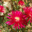Red Ice Plant Flowers — Stock Photo