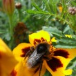 Bumble Bee on Marigolds — Stock Photo