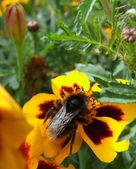 Bumble Bee on Marigolds — Stock fotografie