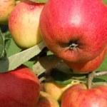 Red Apples Closeup — Stock Photo