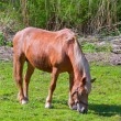 Brown horse in green field of grass — Stock Photo #5639490