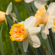 The blooming narcissus — Stock Photo