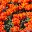 Royalty-Free Stock Photo: Many orange tulips