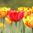 Many orange tulips — Stock Photo