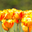 Many orange tulips — Stock Photo #5515670