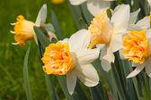 Blühenden narzissen — Stockfoto