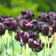 Stock Photo: Colored dark purple tulips