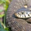 Stock Photo: Funny grass snake