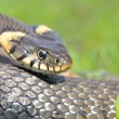 Funny grass snake — Stock Photo