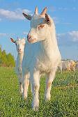 Funny kid goat — Stock Photo