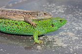 Green and gray lizard — Stock Photo
