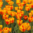 Many orange tulips — Stock Photo #5848293