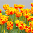 Many orange tulips — Stock Photo #5848294