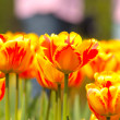 Many orange tulips — Stock Photo #5848295