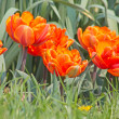 Many orange tulips — Stock Photo #5848297