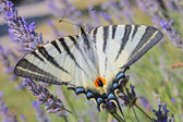 Tiger Swallowtail butterfly — Stock Photo