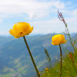 Yellow  flowers from Alps - Foto Stock