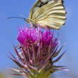 Melanargia galathea butterfly — Stock Photo