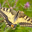 Beautiful Yellow Tiger Swallowtail Butterfly — Stock Photo #6554686