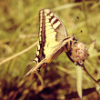 Stock Photo: Beautiful Yellow Tiger Swallowtail Butterfly