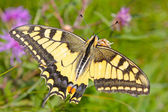 Beautiful Yellow Tiger Swallowtail Butterfly — Stock Photo