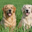 Two lovely dogs on a green field — Stock Photo #5741569
