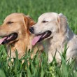 Two lovely dogs on a green field — Stock Photo