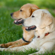 Stock Photo: Portrait of two young beauty dogs