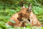 Lying lynx — Stock Photo