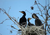 Double Crested Cormorants — 图库照片
