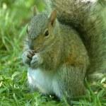Gray Squirrel — Stock Photo #6312044